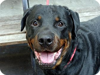 Rottweiler Dog for adoption in Long Beach, New York - Champion