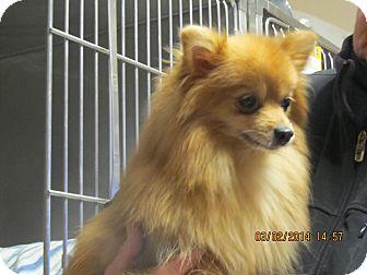 Pomeranian Mix Dog for adoption in Freeport, New York - Skittles