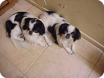 Japanese Chin Dog for adoption in Cathedral City, California - OREO///////// GJ