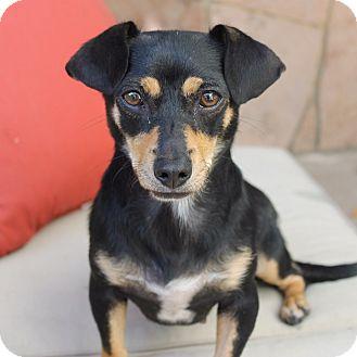 Dachshund/Beagle Mix Dog for adoption in La Habra Heights, California - Addison