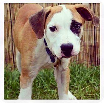 American Bulldog Mix Dog for adoption in Grand Bay, Alabama - Clyde