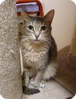 Domestic Shorthair Cat for adoption in Westville, Indiana - Whisper