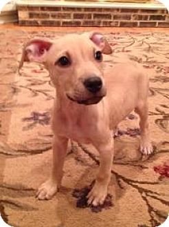 Labrador Retriever/Pit Bull Terrier Mix Puppy for adoption in Oak Park, Illinois - Tucker