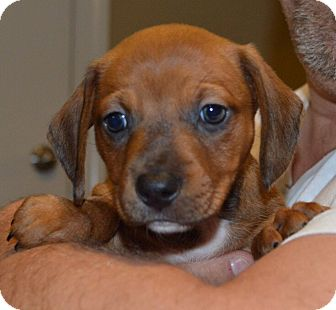 Dachshund Mix Puppy for adoption in East Windsor, Connecticut - Star-adoption in progress