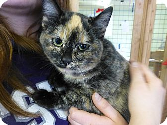 Domestic Shorthair Kitten for adoption in Quincy, California - Olive