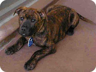 Mastiff Mix Puppy for adoption in El Cajon, California - Boo Boo