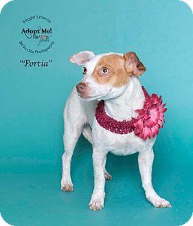 Chihuahua/Dachshund Mix Dog for adoption in Denver, Colorado - Portia