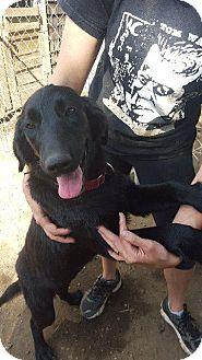Border Collie/Labrador Retriever Mix Puppy for adoption in Danbury, Connecticut - Rennie