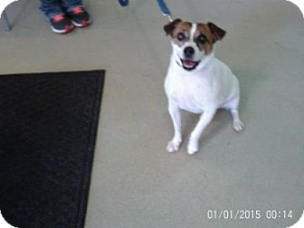 Jack Russell Terrier Mix Dog for adoption in Renfrew, Pennsylvania - Jackle