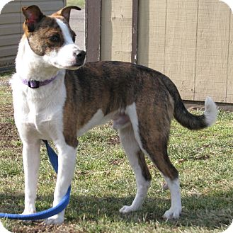 Chihuahua/Terrier (Unknown Type, Medium) Mix Dog for adoption in New Kensington, Pennsylvania - Buddy