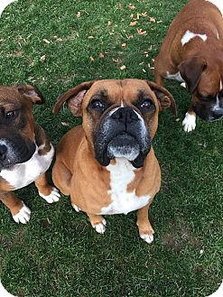 Boxer Dog for adoption in Westminster, Maryland - Lambo