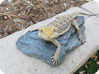 Lizard for adoption in Saugus, California - Leroy Jenkins