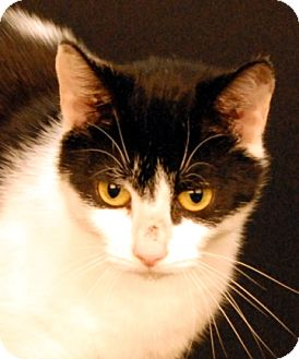 Domestic Shorthair Cat for adoption in Newland, North Carolina - Serena