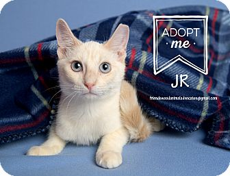 Domestic Shorthair Cat for adoption in Friendswood, Texas - JR