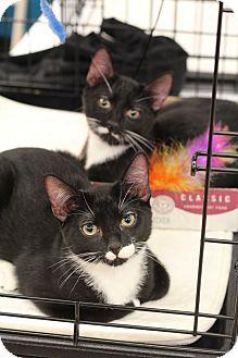Domestic Shorthair Kitten for adoption in Richmond, Virginia - Robin & Jay