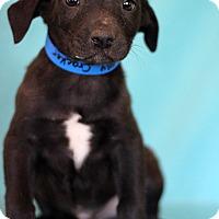 Adopt A Pet :: Cracker - Waldorf, MD