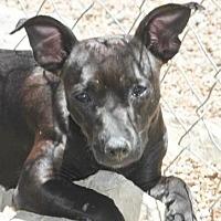 Adopt A Pet :: Dannie Big Dog - Mahwah, NJ