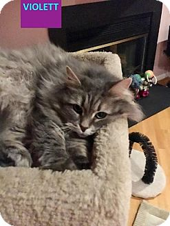 Domestic Longhair Cat for adoption in Baltimore, Maryland - Violet