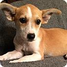 Adopt A Pet :: Daphne