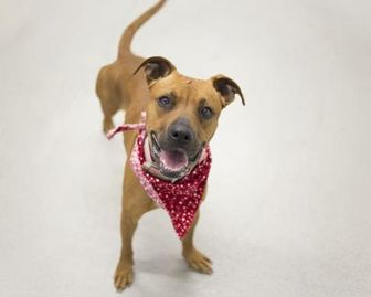 American Pit Bull Terrier Mix Dog for adoption in Sedalia, Missouri - Lady