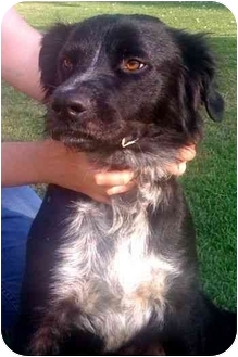 Border Collie Dog for adoption in Phelan, California - HENRY