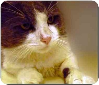 Domestic Longhair Cat for adoption in San Clemente, California - TOMMY