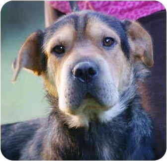 Shar Pei/Shepherd (Unknown Type) Mix Dog for adoption in Spring Valley, New York - Baby