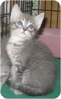 Bengal Kitten for adoption in Dallas, Texas - Starfire