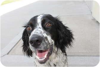 English Springer Spaniel Mix Dog for adoption in HARRISONVILLE, Missouri - Friend
