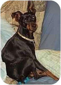 Miniature Pinscher Dog for adoption in Columbus, Ohio - Schroeder