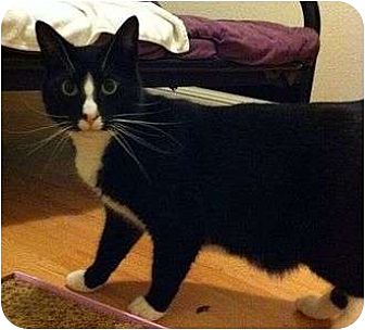 Domestic Shorthair Cat for adoption in Fremont, California - Jerry  05-3172