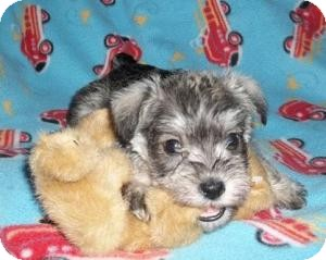 Schnauzer (Miniature) Mix Puppy for adoption in North Benton, Ohio - Spike