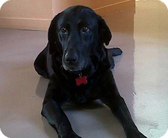 Labrador Retriever Dog for adoption in San Francisco, California - Rose