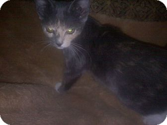 Calico Kitten for adoption in Zephyrhills, Florida - Penny