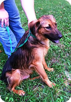 Collie Mix Puppy for adoption in Starkville, Mississippi - Keegan