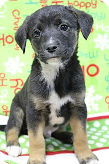 Beagle/Boxer Mix Puppy for adoption in Hagerstown, Maryland - Bishop