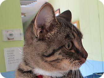 Domestic Shorthair Cat for adoption in Cedaredge, Colorado - Dude