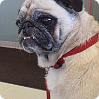 Adopt A Pet :: Pickles - Walled Lake, MI