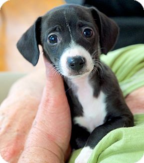 Dachshund/Jack Russell Terrier Mix Puppy for adoption in Homewood, Alabama - Zoey