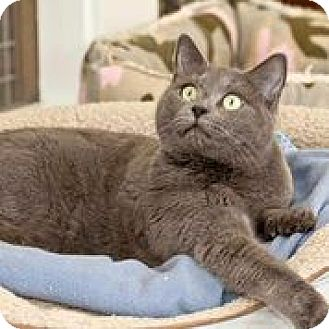 Russian Blue Cat for adoption in Cashiers, North Carolina - Gypsy