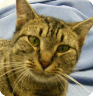 Domestic Shorthair Cat for adoption in Olive Branch, Mississippi - General Patton
