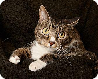 Domestic Shorthair Cat for adoption in Harrisonburg, Virginia - Hobbit