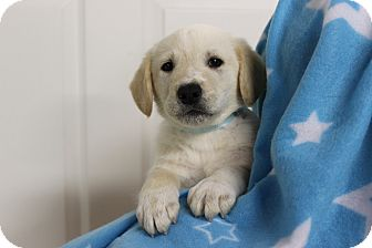 Brittany Mix Puppy for adoption in Boonsboro, Maryland - Adam