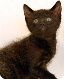 Domestic Shorthair Kitten for adoption in Newland, North Carolina - Kangaroo