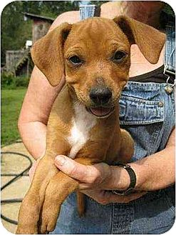 Boxer/Jack Russell Terrier Mix Puppy for adoption in Oswego, New York - Hudson
