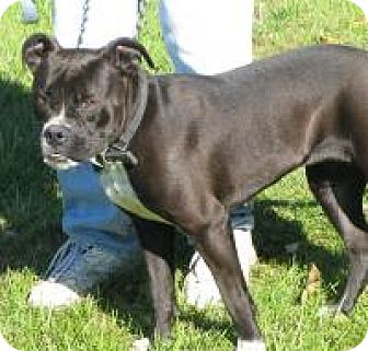 Pit Bull Terrier Mix Dog for adoption in Mineral, Virginia - Luna D26
