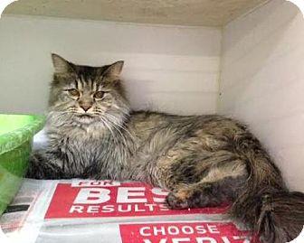 Norwegian Forest Cat Cat for adoption in Manhattan, New York - Princess