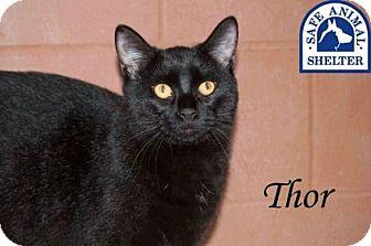 Domestic Shorthair Kitten for adoption in Middleburg, Florida - Tiger