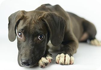 Labrador Retriever/Great Dane Mix Puppy for adoption in LAFAYETTE, Louisiana - OPIE