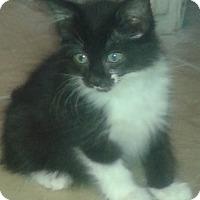 Adopt A Pet :: Shyann - Whittier, CA